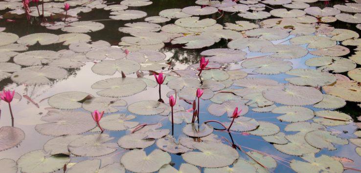 Lillies in Manila
