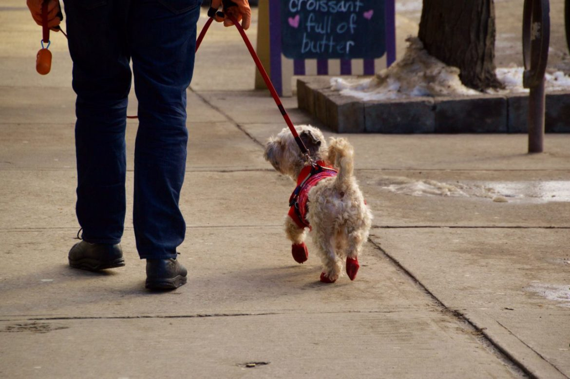 Cute dog dressed in red boots in Toronto